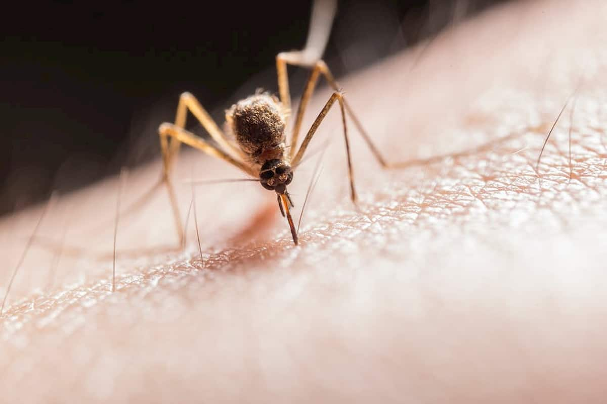 mosquito bite allergy
